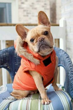 French Bulldog rocking a faux fur lined jacket <3