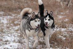 Résultats Google Recherche d'images correspondant à http://fc07.deviantart.net/fs70/f/2011/012/1/e/siberian_huskies_2303_by_deingel_dog_stock-d370bmy.jpg