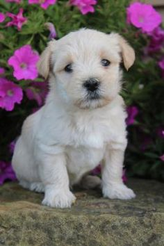 Free Puppies For Adoption, Morkie Puppies For Sale, Cute Dogs And Puppies, Lancaster Ohio, Lancaster Puppies, Newark Ohio, Puppy Finder, Labrador Retriever, Pets
