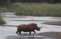 On our first night in camp we were greeted by this spectacular male white rhino who splashed through the water from one bank to the other, whilst we quietly set up camp. Good to know... if you need to cross a croc infested river, walk through in a group and make lots of 'water noise' with your feet/legs, just like a wading rhino or elephant! The useful bits of info you pick up on trail!
