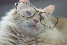 goldish cat in glasses