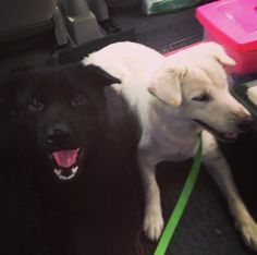 black one is bacio white one is sugar, in the car coming back from the vet after bringing sugar to get her ultra sound, thought we might as well bring the father! :P