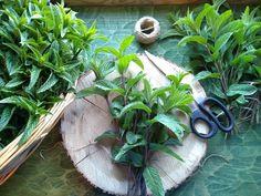 Domácí mátový sirup (foto recept) - Bylinkovo.cz Mojito, Plants, Syrup, Plant, Planets