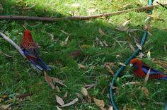 Australian Rosella's in my garden