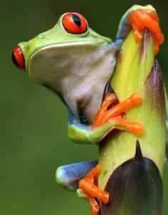 green-tree-frog-tico-tours-guanacaste.jpg
