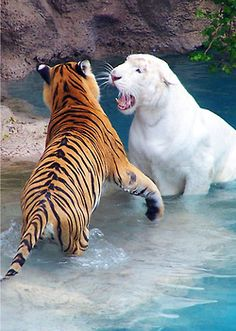 Orange tiger VS white tiger