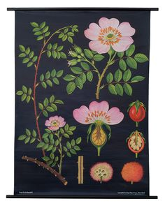 A Dog Rose Botanical Poster from a series of German Scientific Charts still produced by the original printer. Impressive science decor with vintage classroom style! Botanical Drawings, Botanical Prints, Botanical Posters, Illustrations, Illustration Art, Flora Und Fauna, Rose Wall, Chart Design, Gravure