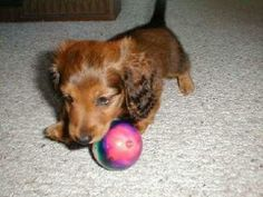 Miniature Dachshunds - 343 - by Dan & Deb Smith Teacup Dachshund, Dachshund Puppies, Small Sized Dogs, Animals And Pets, Cute Animals, Long Haired Dachshund, Miniature Dachshunds, Girls Best Friend, Puppy Love