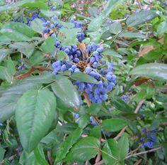 Oregon Holly Grape Mahonia Aquifolium Shrub Seeds | eBay