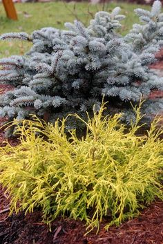 Dwarf Blue Spruce And Gold Mop