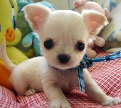 Chihuahua puppy ready to pounce