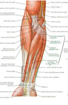 Resultado de imagen para musculos del antebrazo