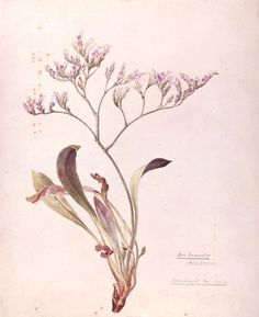 [ Art: Lavender ] Botanical illustration by Beatrix Potter: Sea Lavender 1899: