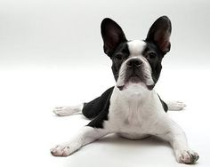 "Boston Terrier    I love the way they lay its like. ""splast"" against a building!  Ours does it and I always laugh!"