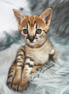 beautiful F2 Savannah kitten with black nose Savannah Cat Breeders, Savannah Kittens For Sale, Savannah Chat, Serval Kittens For Sale, Kitten For Sale, Las Vegas, Exotic, Cats, Animals