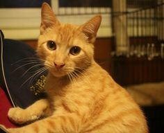 1/2017  sweet ..gets along great with cats and kids!     Meet Thomas O'Malley, an adoptable Tabby - Orange looking for a forever home. If you're looking for a new pet to adopt or want information on how to get involved with adoptable pets, Petfinder.com is a great resource.