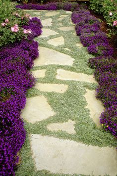 Green-Purple Country Garden      Keywords:   Garden,   Dymondia,   Purple,   Dymondia Margaretae,   Contrasting Colour,   Crazy Paving,   Lobelia,   Flowers,   Paving