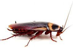 Хлебарките- основна причина за здравословните проблеми при децата