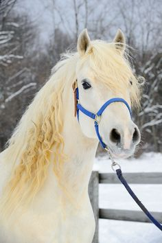 White Horse With Long Mane Hair in Curls, Head Shot