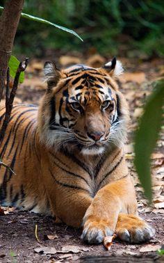 Relaxing Sumatran Tiger by David Whelan