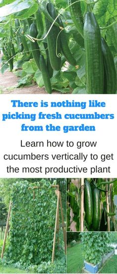 A single cucumber plant can spread out over 12 to 20 square feet when grown in traditional rows or hills. But one way to make better use of space and maximize yields is to grow cucumbers vertically… #summervegetablegardening