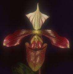 Slipper-Orchid: Paphiopedilum purpuratum