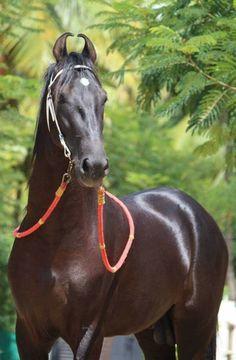 Pretty Horses, Beautiful Horses, Animals Beautiful, Cute Animals, Marwari Horses, Zoo Photos, Horse Ears, Black Horses, Horses And Dogs