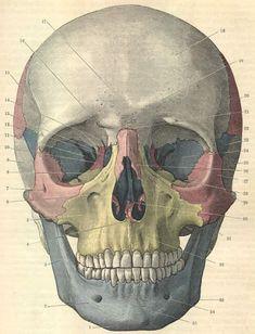 Murphysthangs — anatoref: Skull: Front View Top Image Row 2:...