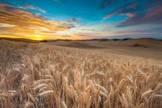 Amber Waves of Grain by Mike Walker, via 500px