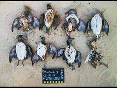 Fukushima: Unprecedented Half Million Birds Die Of Starvation in Alaska ...