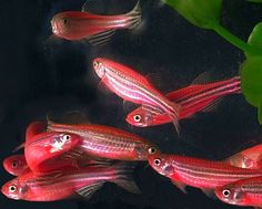 Red Zebra Danio--They are a GMO with a coral (or anemone) gene inserted, that is why they are red.