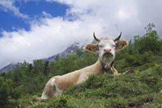 Radarsystem der Schweizer Armee hält Kühe für Feinde