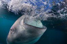 Sharks Eating People | The whale shark liked to eat the bait released by fishers - meant for ...