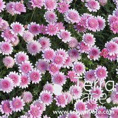 Anthémis à fleur double et rose ( Argyranthemum hybride ) : cette plante annuelle au port compact et dressé donne une multitude de fleurs durant l'été. Au jardin comme en potée sur le balcon-terrasse !