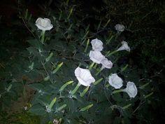 """My beautiful night flowers """"belli di notte"""""""