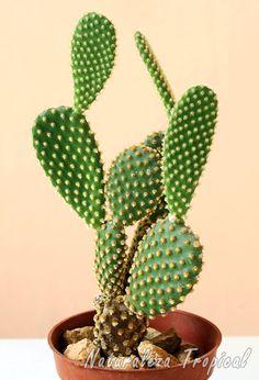 El popular cactus Opuntia microdasys