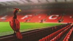 Photoshopped liverbird sitting at Anfield, home of Liverpool Football Club Liverpool Bird, Liverpool Logo, Liverpool Premier League, Liverpool Anfield, Liverpool Players, Liverpool Football Club, Lfc Wallpaper, Liverpool You'll Never Walk Alone, Good Morning Image Quotes