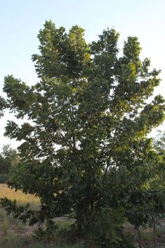 the state tree of texas is the pecan tree which can grow as tall as