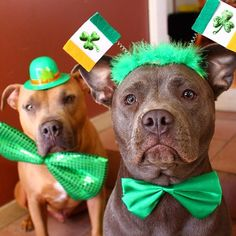 """""""Happy St. Patrick's Day from this good-looking duo! #StPatricksDay (Photo by @pitbulls_chato_bagheera)"""" Photo taken by @petco on Instagram, pinned via the InstaPin iOS App! http://www.instapinapp.com (03/17/2015)"""