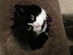 Tuxedo Cat Ke-Ke...