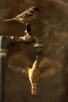 Sincronía perfecta  Ni los pájaros son colibríes, ni el grifo es una flor.  Sin embargo los resultados no tienen nada que envidiar a las fotografías tomadas en lugares remotos con fauna exótica.  La naturaleza más común a nuestro alrededor, un par de gorriones, observada de la forma adecuada nos proporciona imágenes tan mágicas y sorprendentes como ésta.