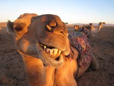 You heard the one about the camel and the sheik...his camel smoked him in the dessert sand.  Hee hee