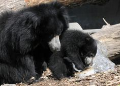 Hani, a 10-year-old sloth bear, and her 6-month-old cub, keep cool at Brookfield Zoo with some frozen ice treats.