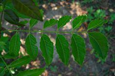 Derris elliptica,Fabaceae