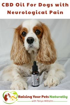 CBD Oil (Phytocannabioind Rich-PCR)For Dogs with Neurological Pain. Dexter's canine rehabilitation veterinarian, prescribed Phytocannabinoid-Rich (PCR) Oil twice a day. Learn why and how it may help your dog's pain. #raisingyourpetsnaturally #sponsored #cbd #cbdoil #cbdoilfordogs #potforpets #hempfordogs