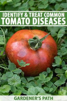Not sure what's plaguing your tomatoes? Our roundup of common tomato plant diseases can help you to identify, treat, and prevent a variety of fungal, bacterial, and viral ailments, as well as other issues that may arise. Read more on Gardener's Path to start troubleshooting. #gardening #tomatoes #gardenerspath