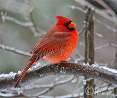 Beautiful Cardinal, Roughing Out a Winter on an icy branch