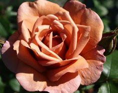 Lavender Pinocchio - SechzehnEichen RosenSchätze