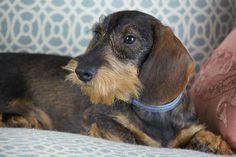 Willow Springs Miniature Wirehaired Dachshunds http://www.willowspringsdachshunds.com/