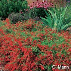 57 Best Arctostaphylos Images In 2019 Manzanita Garden